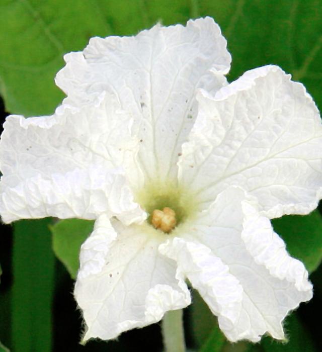 ヒョウタン(瓢箪)の写真 ヒョウタン(瓢箪)の花言葉と誕生花-花の持つ言葉 花には様々な花言葉が