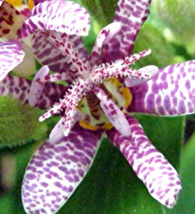 ホトトギス (杜鵑草)の花言葉と誕生花-花の持つ言葉