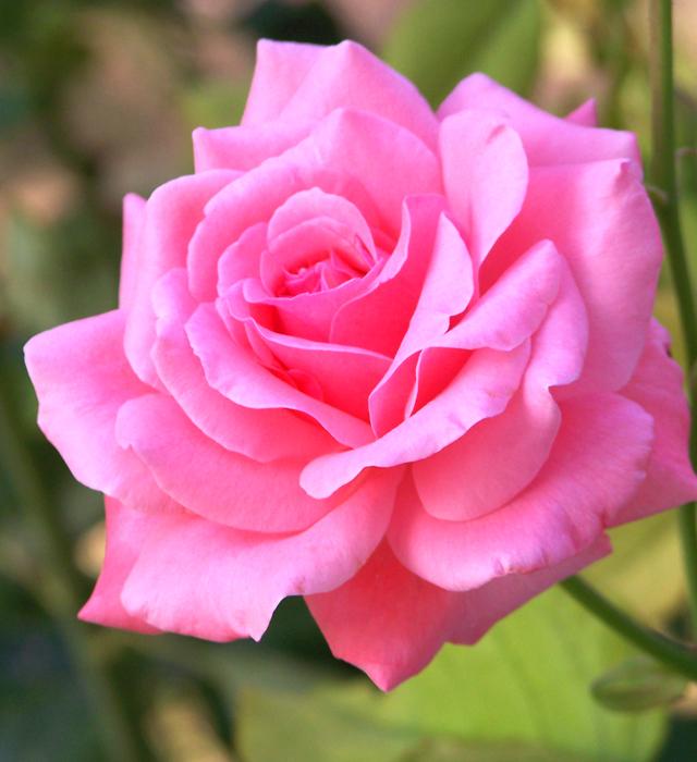 薔薇 言葉 の ピンク 花
