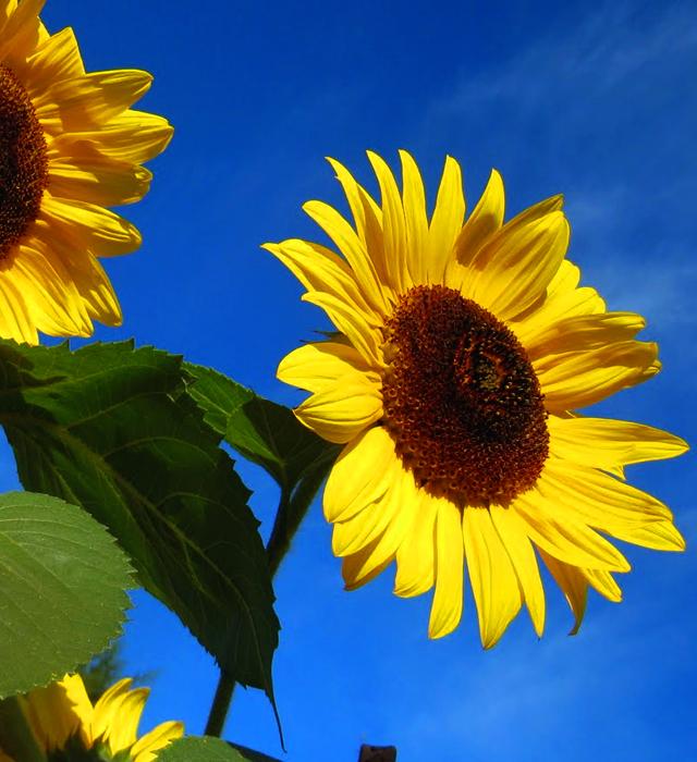 ひまわり 花 言葉 ひまわりの花言葉を贈って相手を超感動させる7つの方法