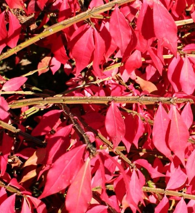 ニシキギ(錦木)の写真 ニシキギ(錦木)の花言葉と誕生花-花の持つ言葉 花には様々な花言葉が付け