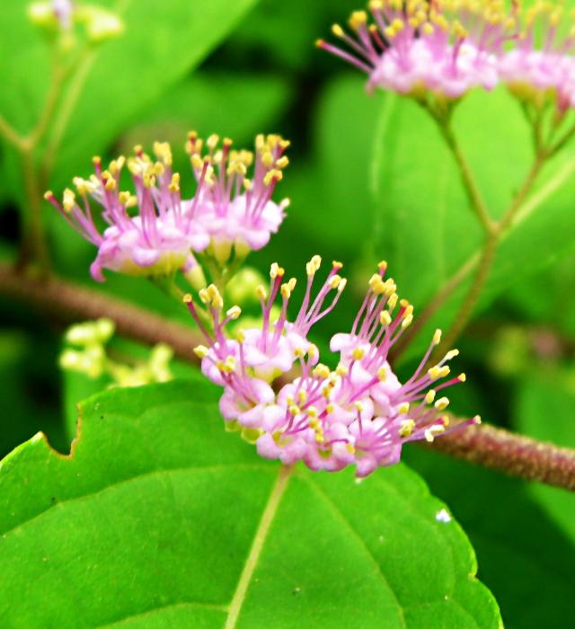 紫式部 花 色