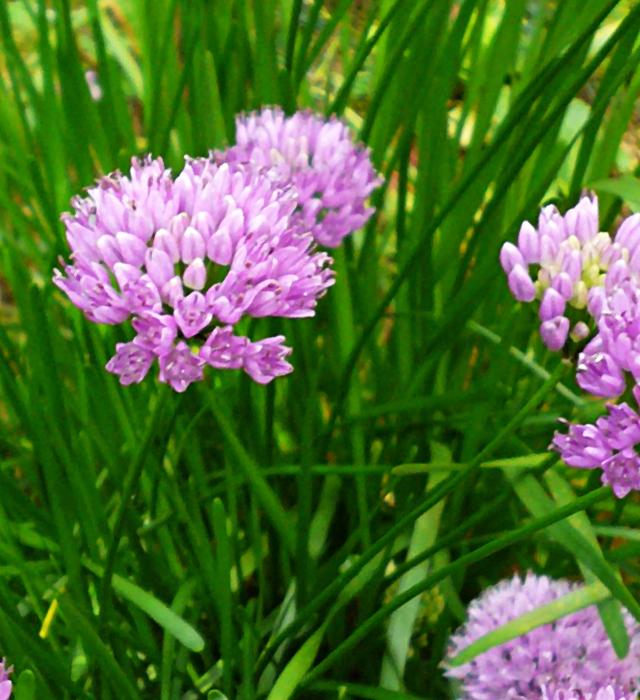 花には様々な花言葉が付けられています。ヤマラッキョウ(山辣韮)の花言葉はどんな言葉が付けられているのでしょうか?