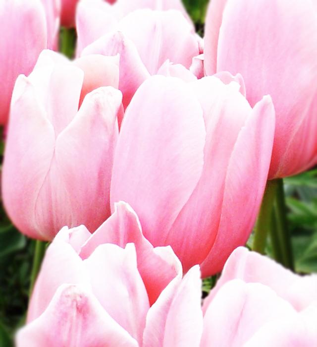 ピンク色のチューリップの写真