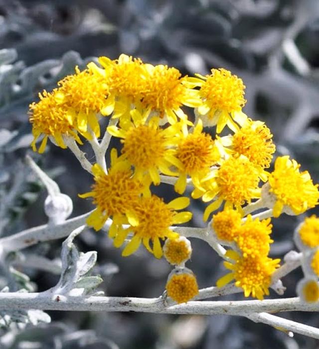 シロタエギク(白妙菊)の写真