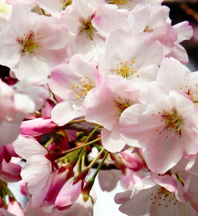 エドヒガン (江戸彼岸)の花言葉と誕生花-花の持つ言葉