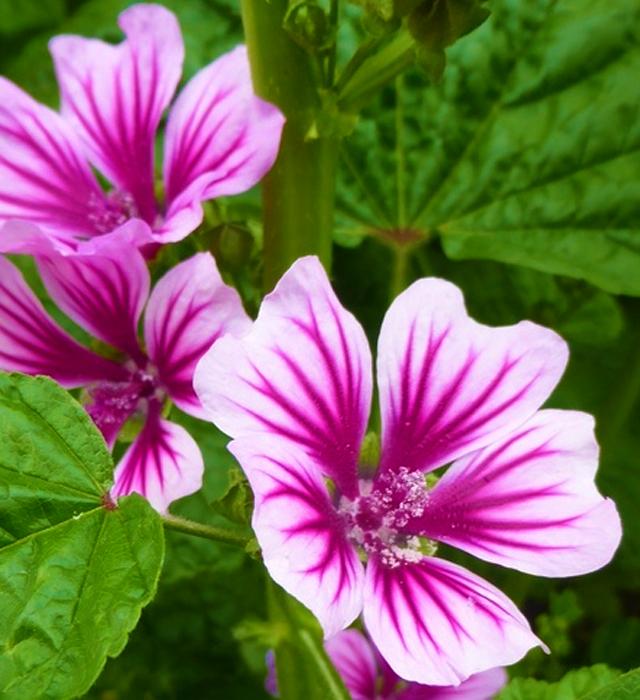 ゼニアオイ(銭葵)の花言葉と誕生花-花の持つ言葉