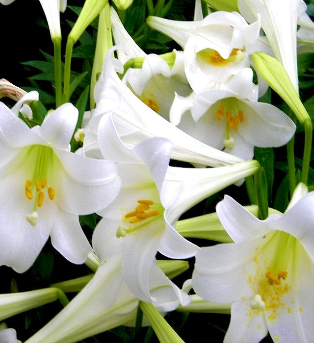 テッポウユリ(鉄砲百合)の花言葉と誕生花-花の持つ言葉