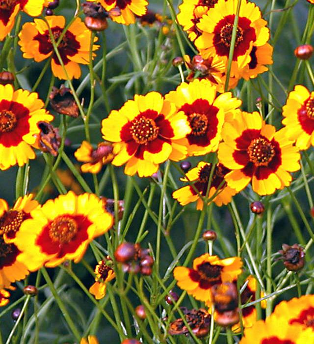 ハルシャギク(波斯菊)の花言葉と誕生花-花の持つ言葉